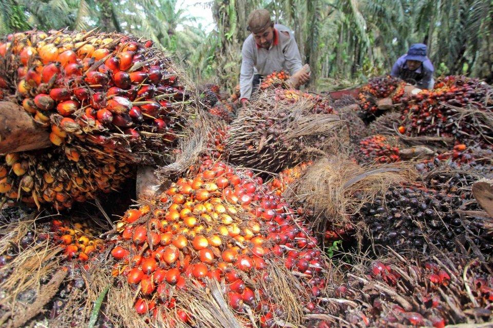 Industri Minyak Sawit Indonesia Sektor Ekonomi yang Ekstraktif