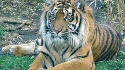 Harimau Sumatera Memangsa Kambing dan Anjing Milik Warga Siak