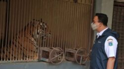 Harimau Sumatera di Margasatwa Ragunan Positif Covid-19