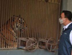 Dua Ekor Harimau Sumatera di Margasatwa Ragunan Positif Covid-19